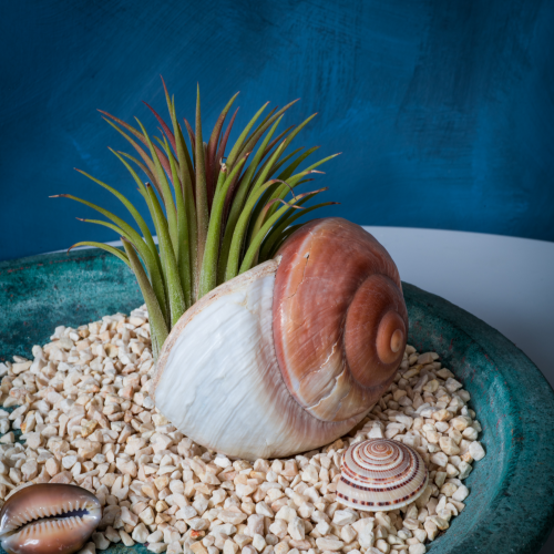 Air plant in a shell