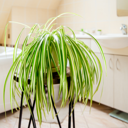 Spider Plant in the Bathroom